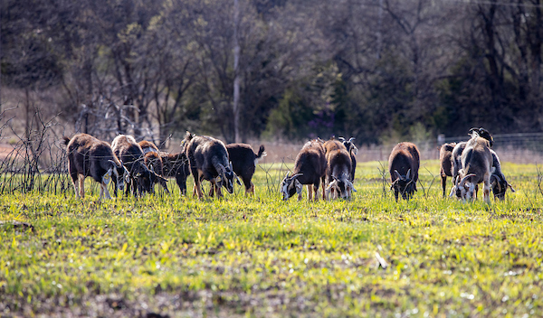 A group of goats grazing in the field.
