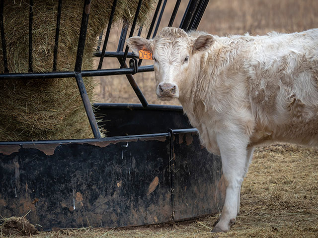 A white calf standing next to a black hay feeder.