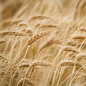 An upclose view of wheat in a field.